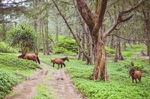 Waipio Valley, místo divokých koní
